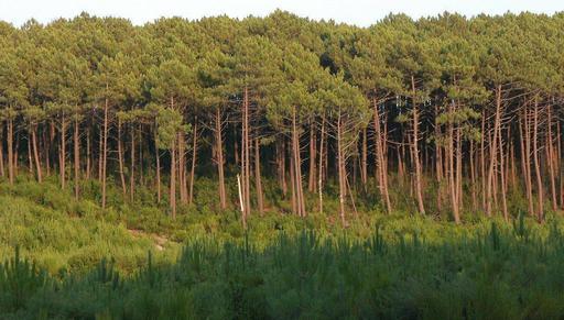 Forêt de pin maritime dans les Landes de Gascogne
