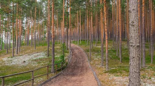 Forêt de pins sylvestres en Estonie
