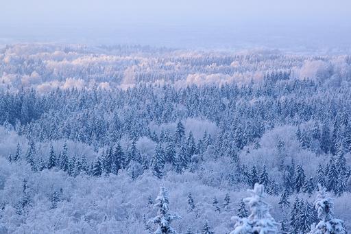 Forêt de sapins sous la neige à Haanja en Estonie