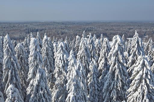 Forêt de sapins sous la neige en Estonie