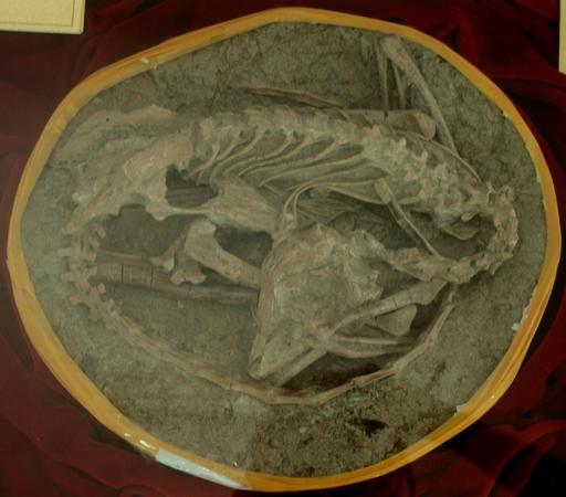 Fossile du dinosaure Meilong