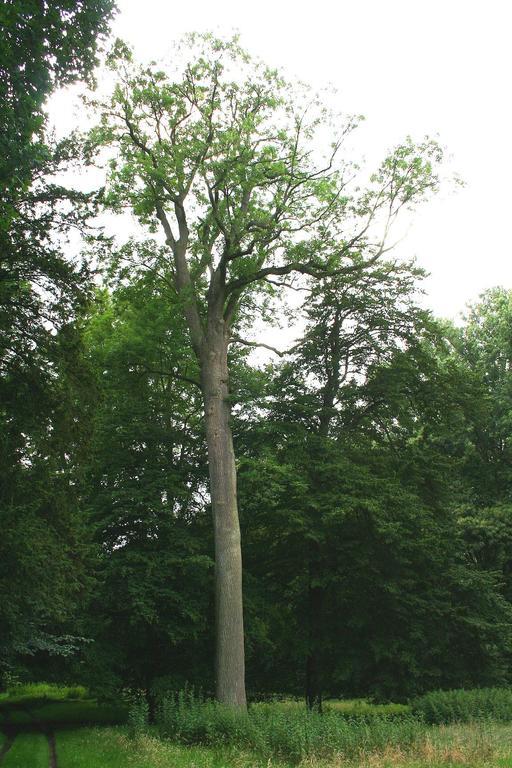 Frêne commun en Belgique