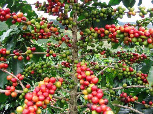 Fruits de caféier