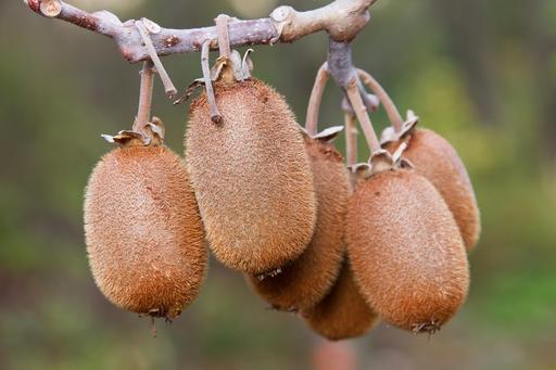 Fruits de kiwi suspendus à une branche
