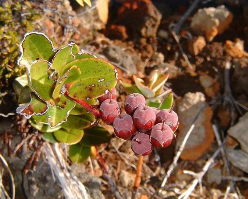 Fruits de petit bois de rempart réunionnais