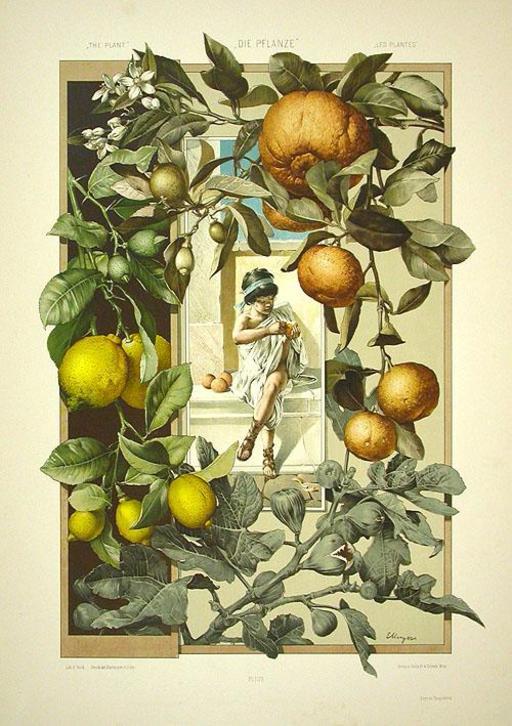Fruits et fleurs de citronniers