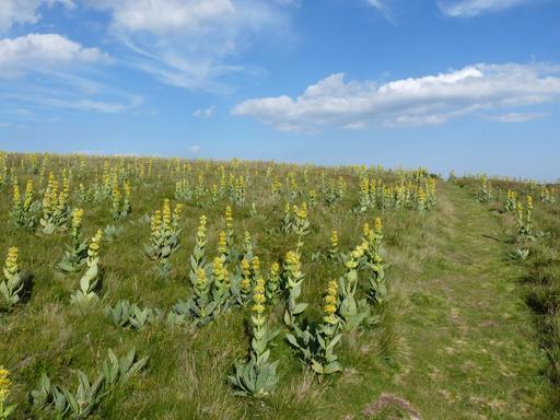 Gentiane jaune en fleurs dans les Vosges