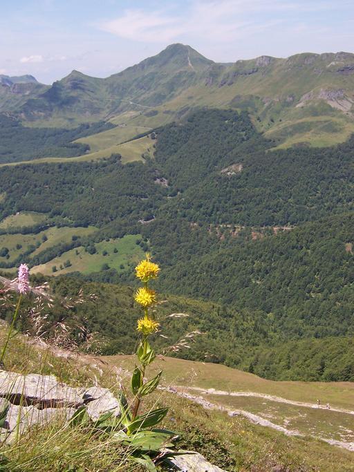 Gentiane jaune en montagne