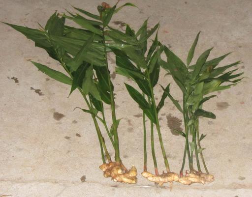 Gingembre, rhizomes et feuilles