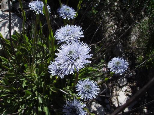 Globulaire commune en fleurs