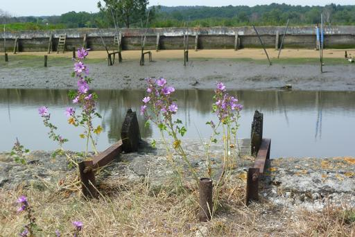 Grandes mauves en fleurs en bordure d'un chenal