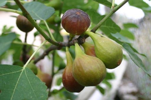 Grappe de figues