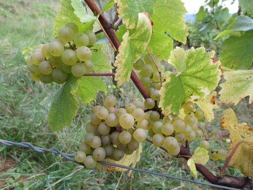 Grappes de Chardonnay du Jura