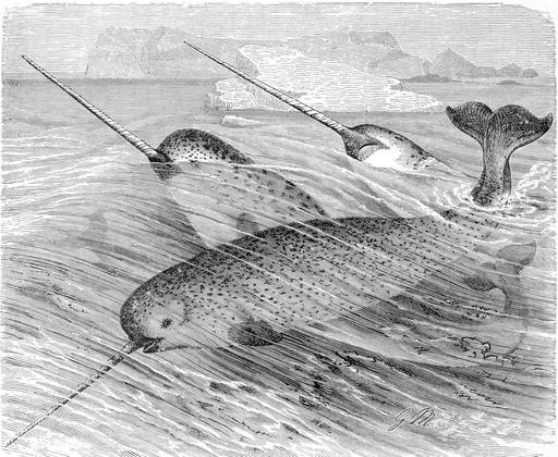 Gravure de narvals en mer en 1893