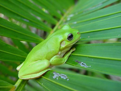 Grenouille verte posée sur feuille de palmier