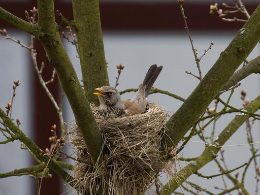 Grive au nid
