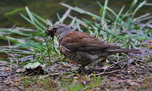 Grive litorne préparant son nid