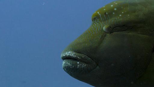 Gros plan sur la tête d'un poisson Napoléon