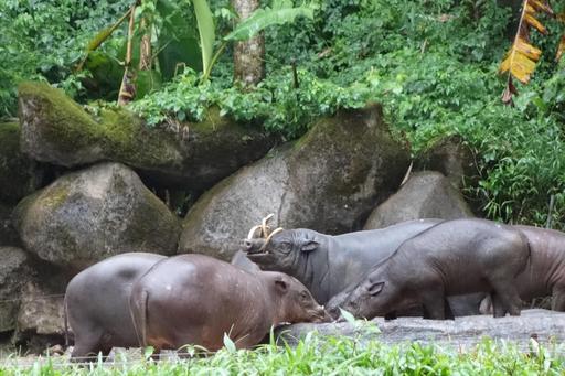 Groupe de babiroussas s'abreuvant en Indonésie