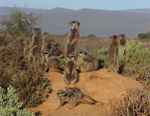 Groupe de suricates