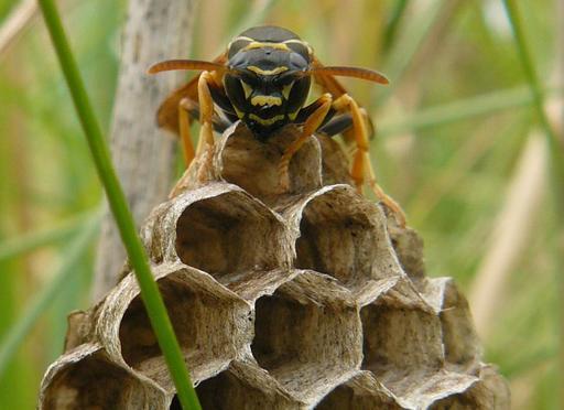 Guêpe sociale dans sa ruche