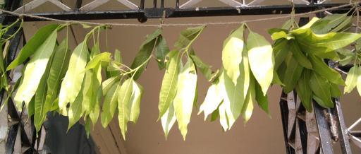 Guirlande de feuilles de manguier