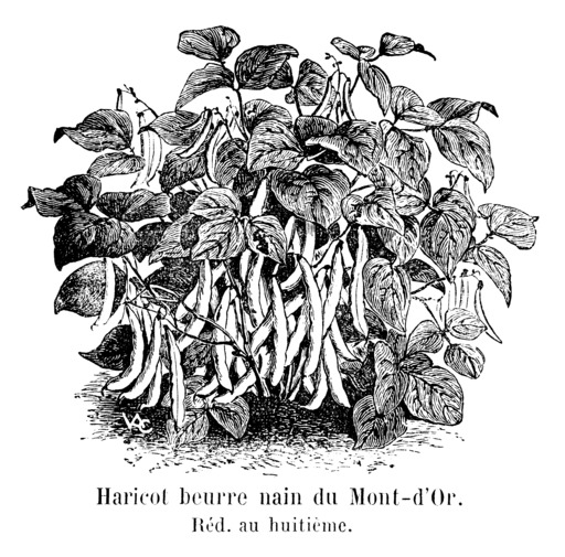 Haricot beurre nain du Mont-d'Or