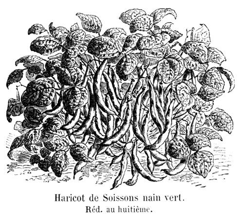 Haricot de Soissons nain vert