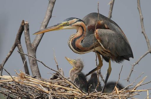 Héron pourpré au nid avec ses petits