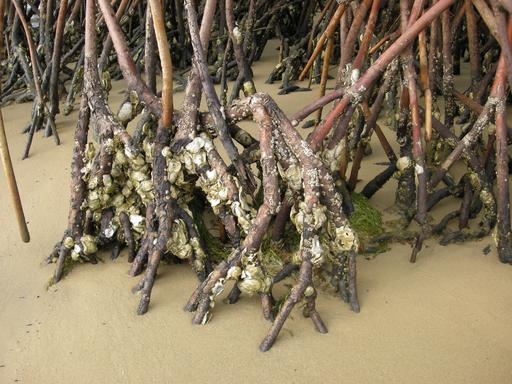 Huîtres de palétuviers au Sénégal
