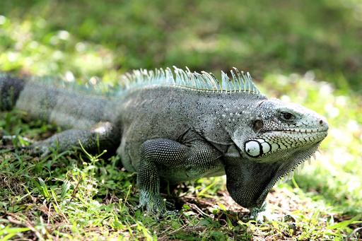 Iguane de Guadeloupe