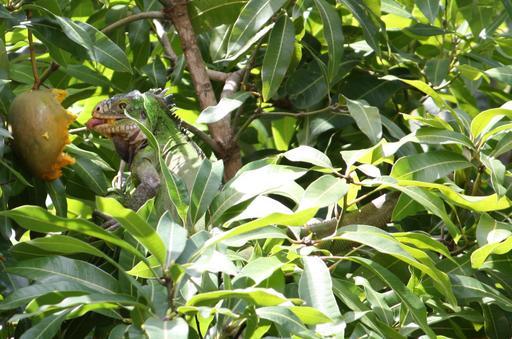 Iguane des Petites Antilles mangeant une mangue