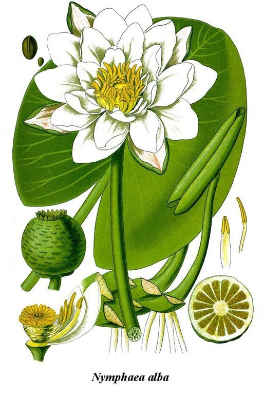 Illustration de nénuphar