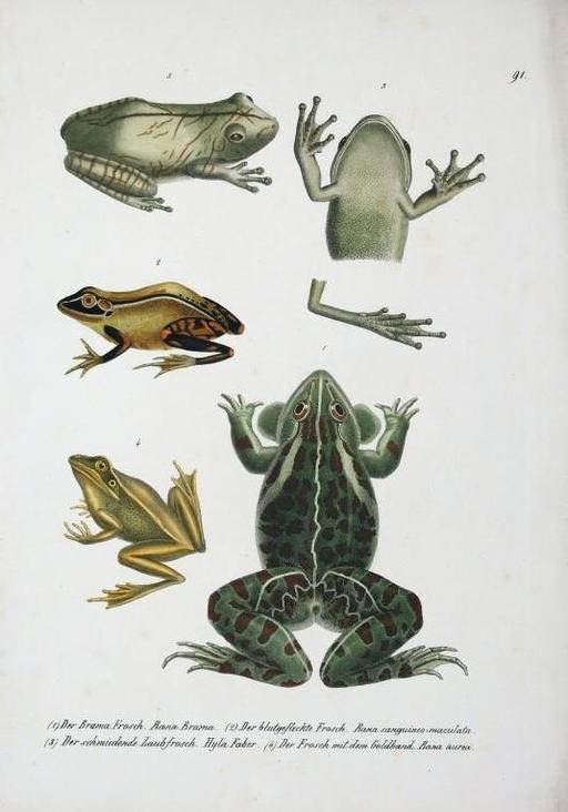 Illustrations représentant des grenouilles