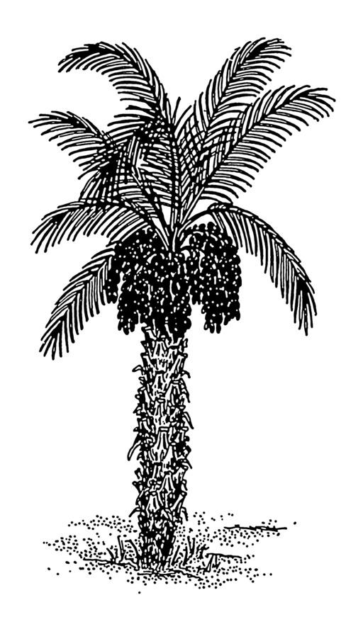 Image de palmier dattier