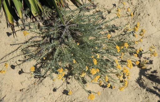 Immortelles jaunes au Mimbeau