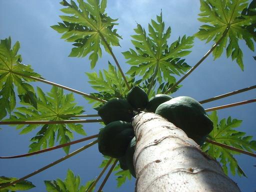 Papayer en inde