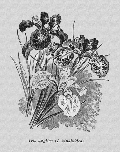 Iris d'Angleterre