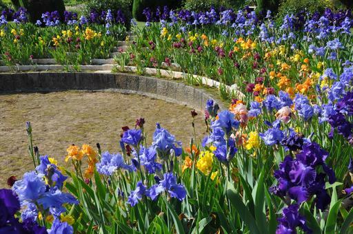 Iris de plusieurs teintes