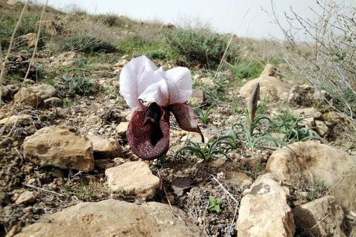 Iris elegantissima en Arménie