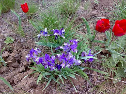 Iris et tulipes rouges