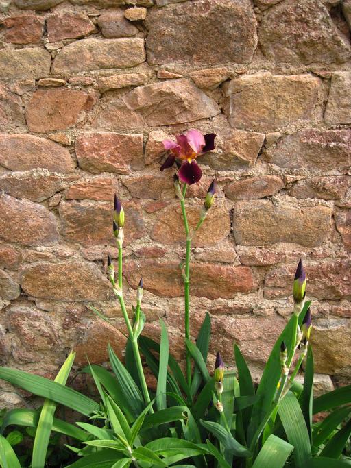Iris pourpre contre un mur de grès