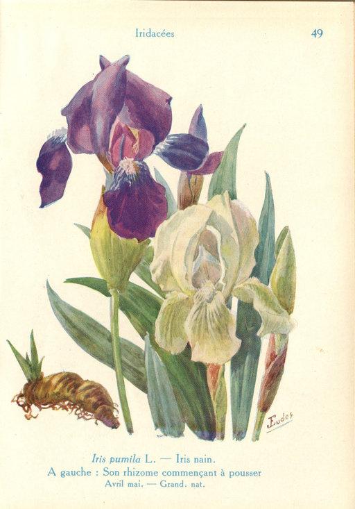 Iris pumila de jardin