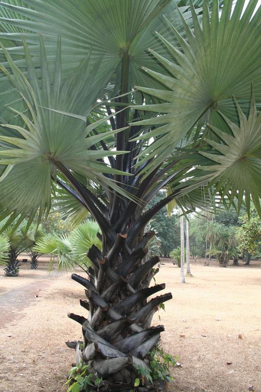 Jeune Borassus aethiopum au Cameroun