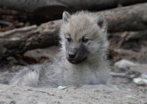 Jeune loup arctique