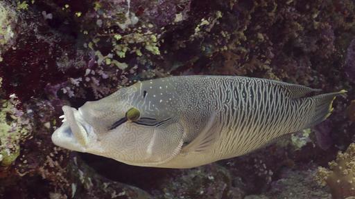 Jeune poisson Napoléon