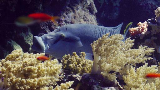Jeune poisson Napoléon la gueule ouverte