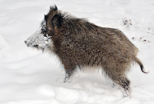 Jeune sanglier dans la neige