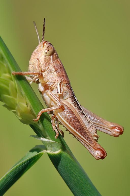 Jeune sauterelle en Australie