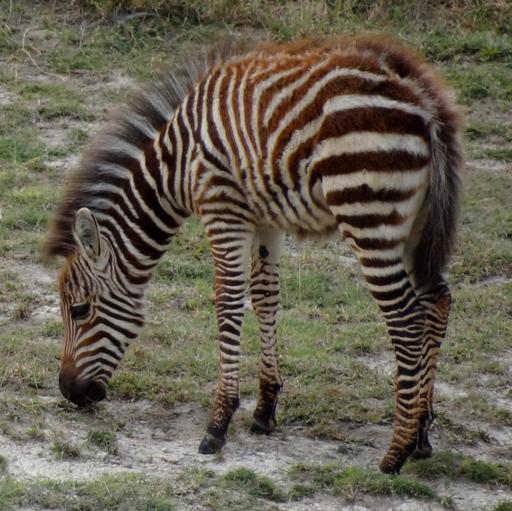 Jeune zèbre au Kenya